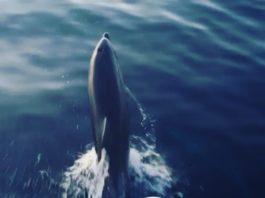 dolphins near Rogoznica